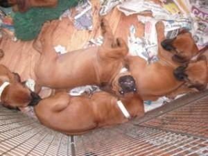 Pups from Louis' mum's second litter