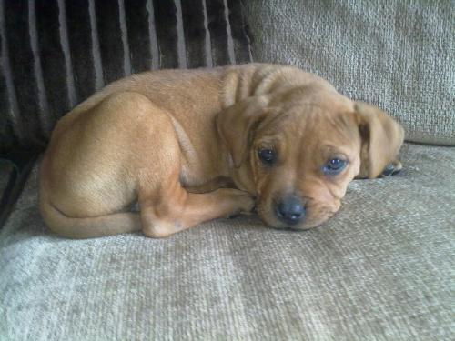 Codee the pup