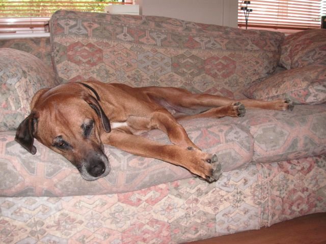 Louis The Ridgeback Glued To A Sofa